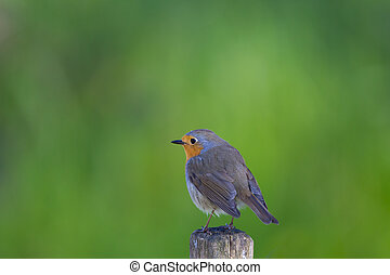 Isolated European robin (Erithacus rubecula) standing -...