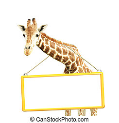 Giraffe with signboard in yellow frame. Isolated on white...