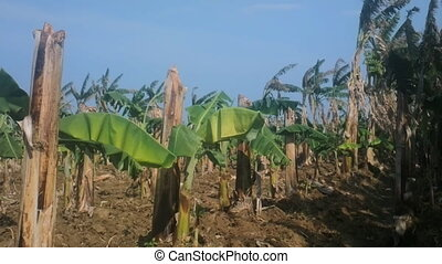 Old banana plantation. Old hollow broken stems and from...