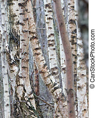 Birch trunk in nature, selective focus, winter