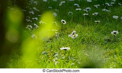 white daisies on a green grass