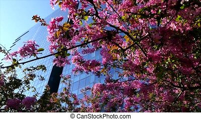 Cherry sakura tree on sky and city background. Spring nature...