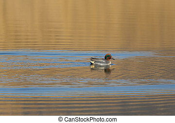 Male common teal (Anas crecca) swimming in evening sun