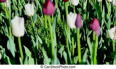 purple and white tulips green background.