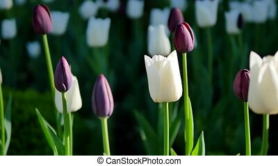 purple and white tulips green background closeup