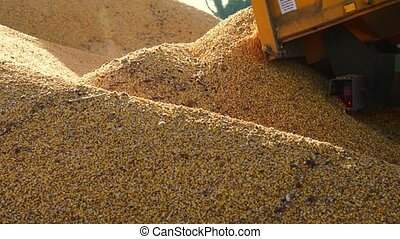 Food factory, Food, Cereal, Tractor is dumping wheat grains...