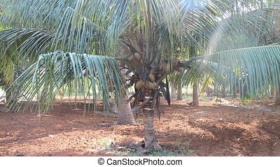 Old plantation of coconut palms in India - Middle age...