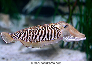 cuttlefish swiming in the water