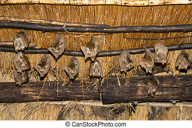 wild bat animals on the roof - wild bats hanging on the roof...