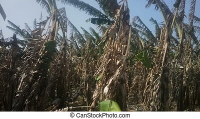 Banana plantation after harvest 2. India, Kerala. - Banana...