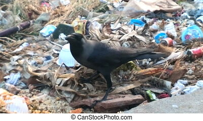 Food opportunist. Indian house crow gathers food in garbage...