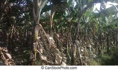 Banana plantation after harvest 1. India, Kerala. - Banana...