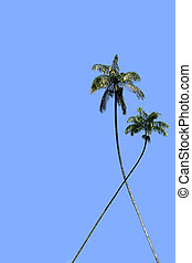 Coco-trees - Two coconut tree on a background of blue sky