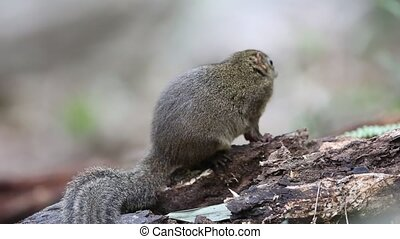 Northern Slender-tailed Treeshrew (Dendrogale murina) in Tam...