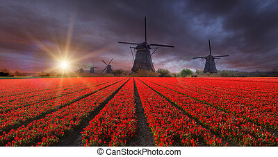 Vibrant tulips field with Dutch windmills