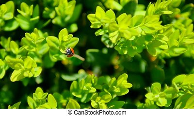 Ladybug crawling on the green leaves of a bush. Close-up macro