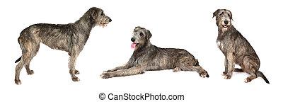 Irish wolfhound dog over white - Photo collage of Irish...