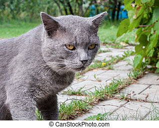 Gray cat with muzzle stained with milk, is standing in the...