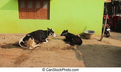 green house and two domestic animals cow in Asia.