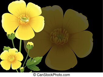 Yellow buttercup flowers with black background illustration