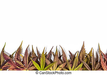 Purple and yellow cannabis leafs - Purple and yellow...