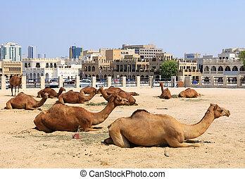 camellos, central, Doha, Qatar
