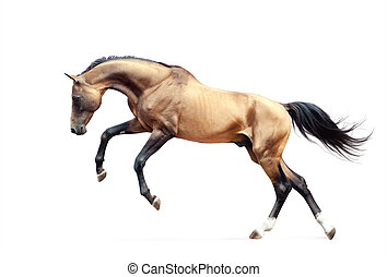 golden akhal-teke horse rears up isolated on white