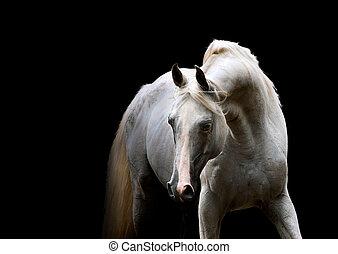 white arabian horse portrait on black background in low key