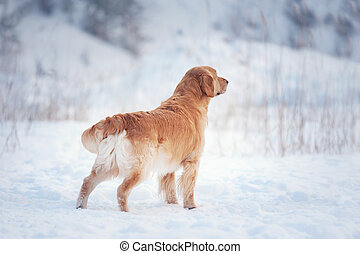 golden retriever posing in snow background