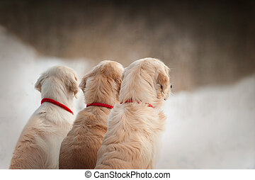 three golden retrievers look to forest