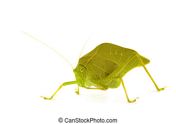 Katydid - A katydid, green leaf bug isolated on white
