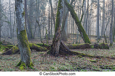 Old trees in natural stand of Bialowieza Forest - Old...