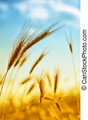 Ear of wheat - Photo of ear of wheat with bright sun and...
