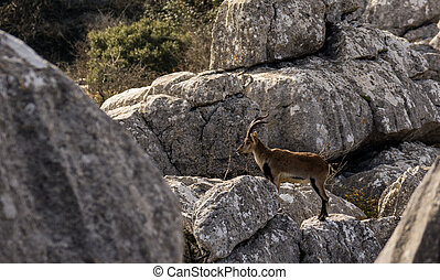 Spanish ibex in Torcal de Antequera - Spanish wild goat in...