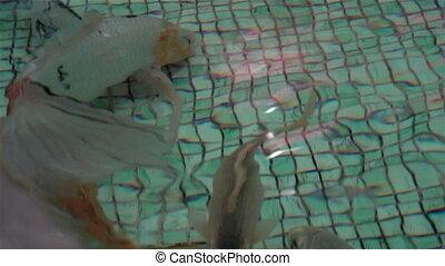 exotic Aquarium fishes swim in green background