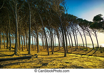 Italian Maritime Pine tree pinewood forest and sea. Marina...