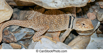 Great Basin Collared Lizard, Adult Male - Inyo County,...