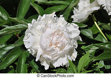 Peony White color - Flower peony White color in summer day