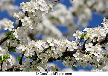 plum blossom 62 - plum blossom 62