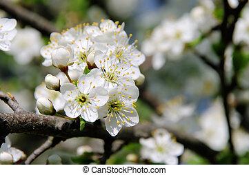 plum blossom 03