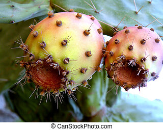 cactus fruit ripe in sweet tasty and fragrant spiky on top...
