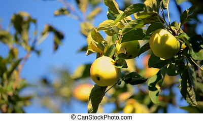 Branches of apple