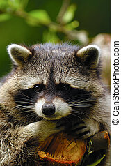 Sad raccoon - A sweet sad raccoon is sitting in a tree and...