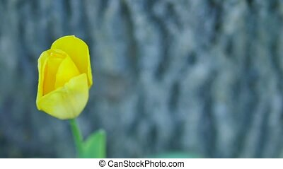 yellow tulip on the background of a tree trunk