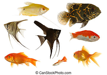 Aquarium fish on white background - Many different aquarium...