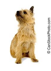 Cairn Terrier Dog. - Sweet dog is sitting on a white...