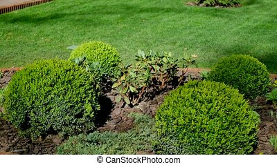 Small coniferous bushes on the flowerbed in the garden.