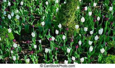 flowerbed with white and purple tulips on the yard.