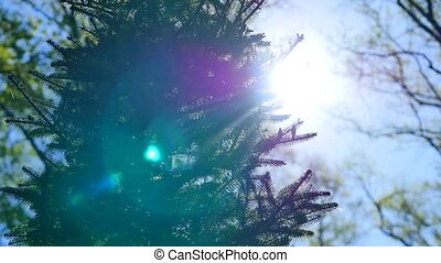 Brightly lit green spruce tree branches and needles against...