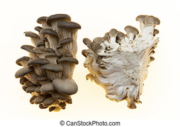 The mycelium is divided into two parts in the section. Oyster mushrooms fresh mushrooms on a white background closeup.